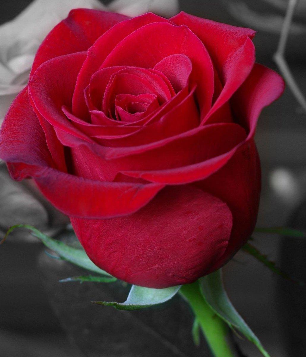 Happy Friday to everyone #FridayMorning #FridayMotivation #FridayFeeling #love #rose   <br>http://pic.twitter.com/0Fgzdj19XA
