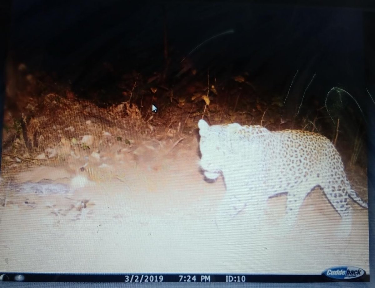 Pug marks of wild beast in central Gujarat forest not of tiger/tigress but that of leopard:Forest Department