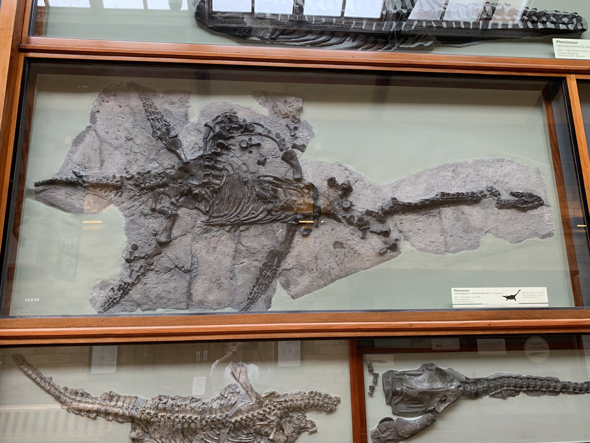 I'm about to have a chat about Mary Anning, which has put me in the mood for marine reptiles this #FossilFriday. Here's the first complete plesiosaur skeleton ever found, Plesiosaurus from the Early Jurassic Lias of Lyme Regis @NHM_London, which was collected by Anning in 1824<br>http://pic.twitter.com/Wc4yDGL3jN
