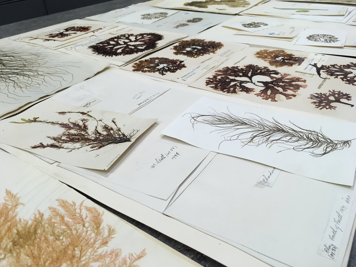 We took some locally collected historical #algae specimens out today to show participants of a workshop inspired by @RBGE_Herbarium collections organised by @EdinburghShore1 and @SSusanmwhite