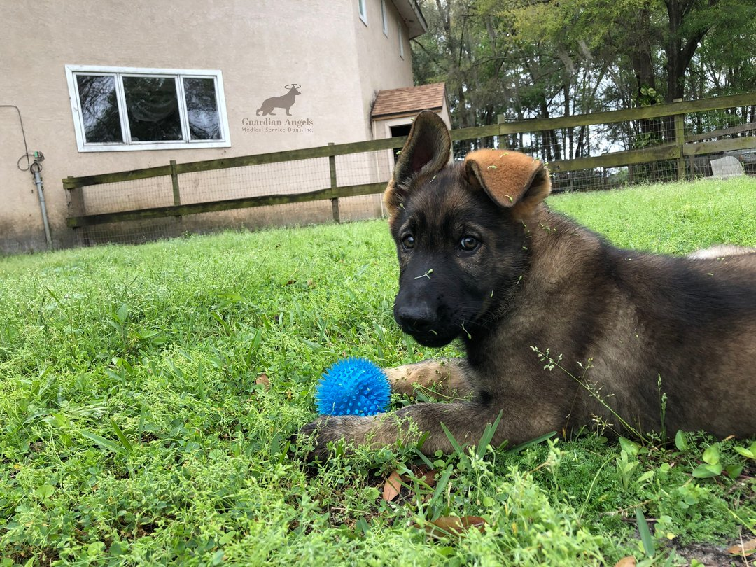 Can you handle this much #FurryFriday Cuteness?? This future Super #ServiceDog gets his photo snapped while enjoying his favorite toy #Love #Family #GSD #ServiceDogs<br>http://pic.twitter.com/xNrhIJb2WA
