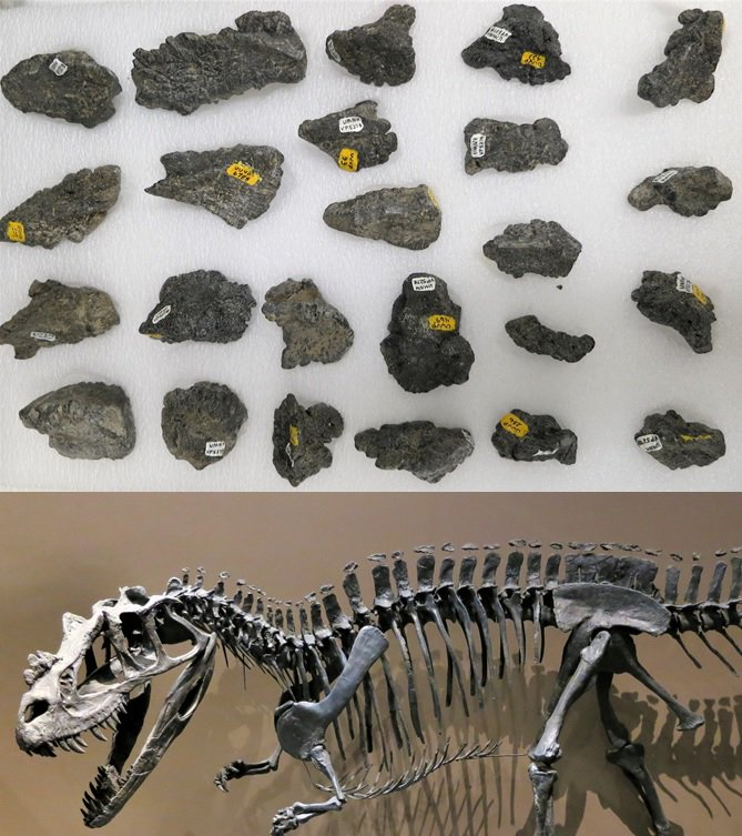 These lumpy bumps may not look like much, but they are super cool! You are looking at osteoderms that lined the back of the horn-snouted Jurassic theropod Ceratosaurus. Some theropods have #allthestyle  #FossilFriday #dinosaur #science #jurassic<br>http://pic.twitter.com/Uf7w7RExED