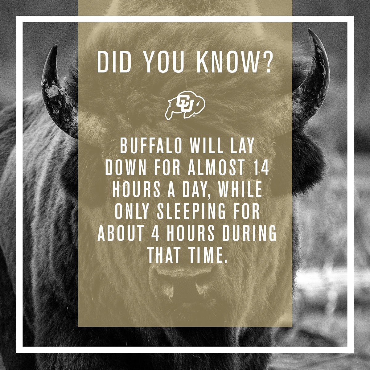 #BuffaloFactFriday - Buffalo do lay down quite a lot throughout the day for a few hours at a time, but do not sleep for very long. When they are not laying down they are up grazing.  #GoBuffs #RunRalphieRun