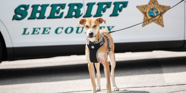 This Is Chance, He Was Found Running Through Backyards in Lehigh Acres in Florida With His Mouth Taped Shut With Tape &amp; Trouble Breathing. NOW: He&#39;s Deputy Chance. Sheriff Carmine Marceno Adopted Him &amp; Put Him To Work as a Spokes-Dog. #FridayFeeling  <br>http://pic.twitter.com/ng8Re81BmE<br>http://pic.twitter.com/nKm3D8XJsf