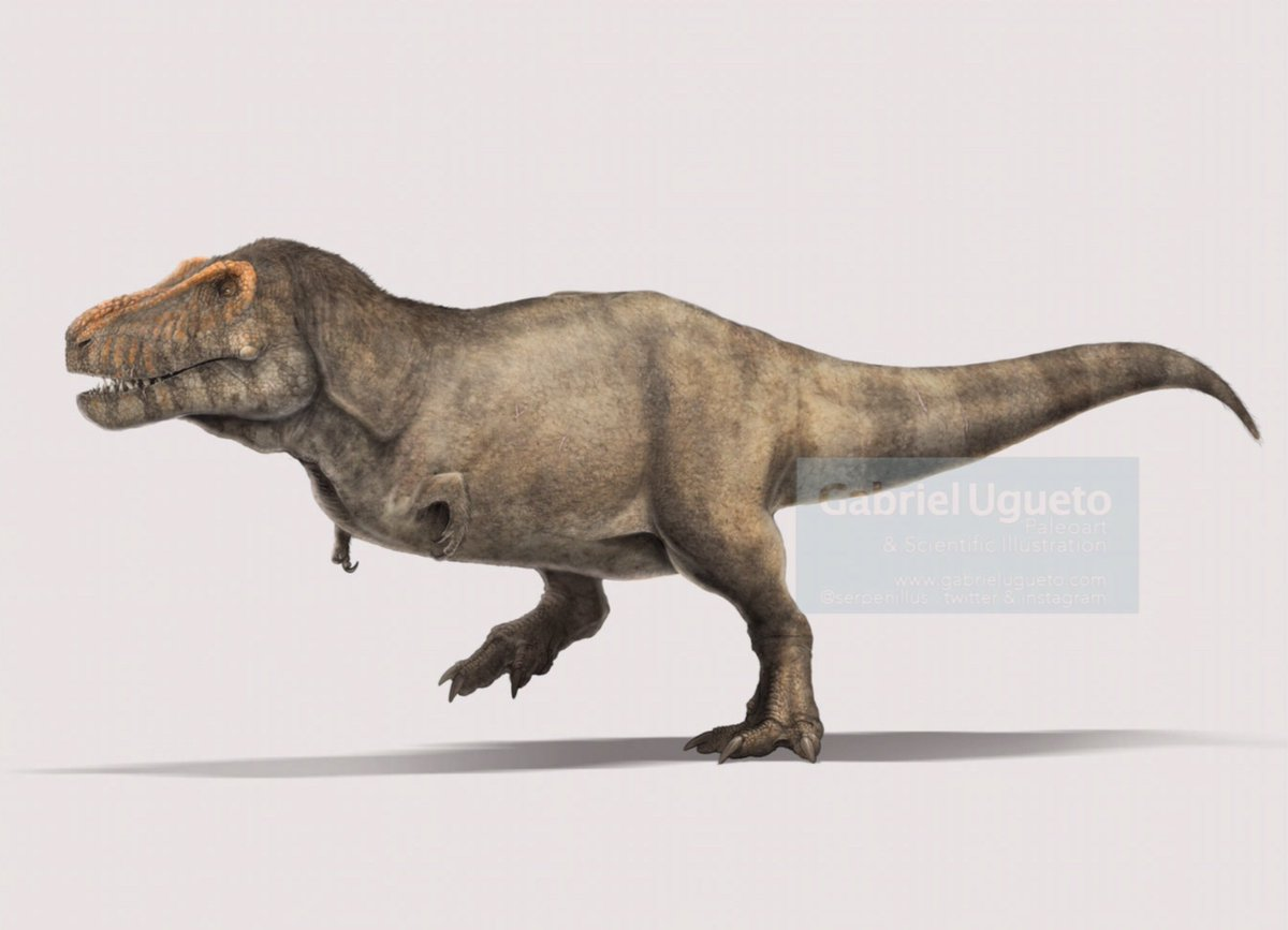 I had to finish this recon of Tyrannosaurus rex in record time because it will be featured in an upcoming magazine article. It is always fun to reconstruct T. rex. I recently did another one but that one is still under embargo and can't show it yet #paleoart #sciart #FossilFriday <br>http://pic.twitter.com/cQO0tbGxiS