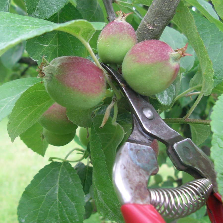 Whats on Appleby in Eden Valley: Orchard Drop in Day