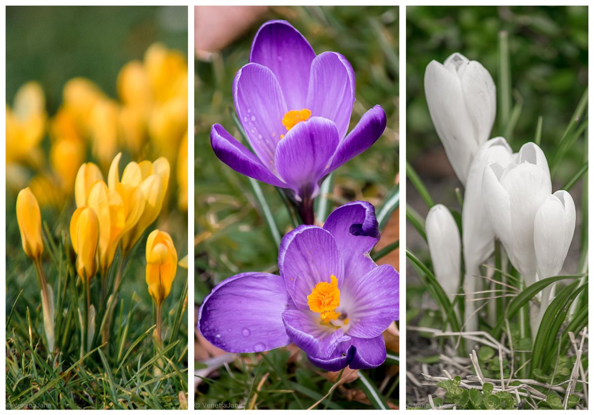 &quot;Come gather the crocus-cups with me, And dream of the summer coming; Saffron, and purple, and snowy white, All awake to the first bees humming.&quot; - Sebastian Evans (1830-1909) #FridayFeeIing #spring #flowers<br>http://pic.twitter.com/4MUQAGdfW1