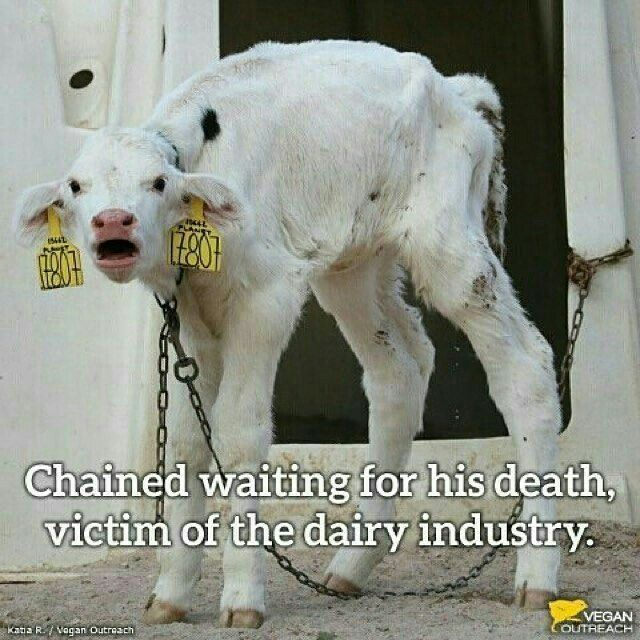 Another victim of the cruel dairy industry #DitchDairy #GoVegan<br>http://pic.twitter.com/Ei9dojc6uS