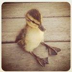 Image for the Tweet beginning: #TakeQuackQuackToNasdaq!!  Quack quack wants to