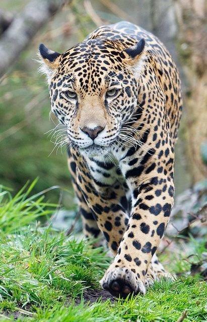 💔🐯  Save Jaguars!     Pls✏ https://t.co/2tYzktBw0p TY @Defenders  #cats #Jaguar #anipals #nature #wildlife https://t.co/YDyUXsE3Ju
