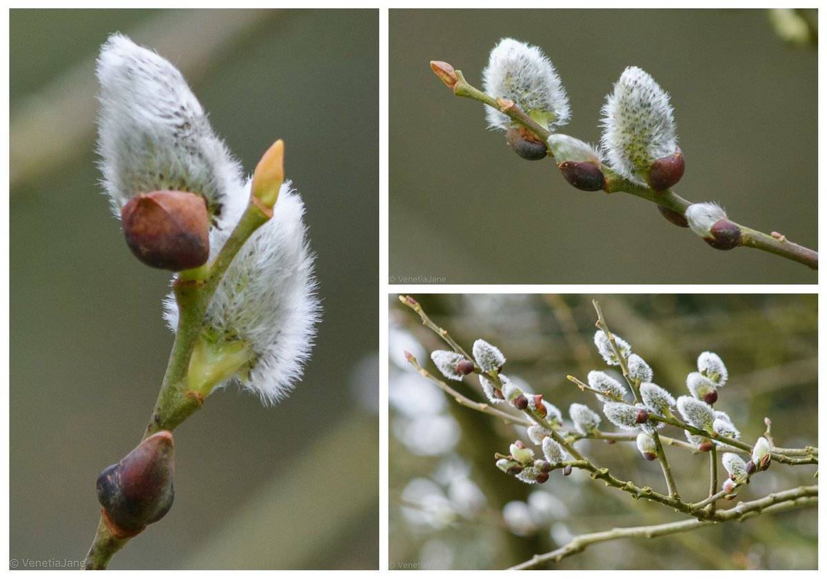 Legend tells that the willow tree, on hearing a mother cat&#39;s distressed mewling, reached its branches into the water to save her drowning kittens. In remembrance of this kindness, wherever their little feet touched the branches, catkins grow. #folklore #Caturday #SaturdayMorning <br>http://pic.twitter.com/JiCLK4Upeu