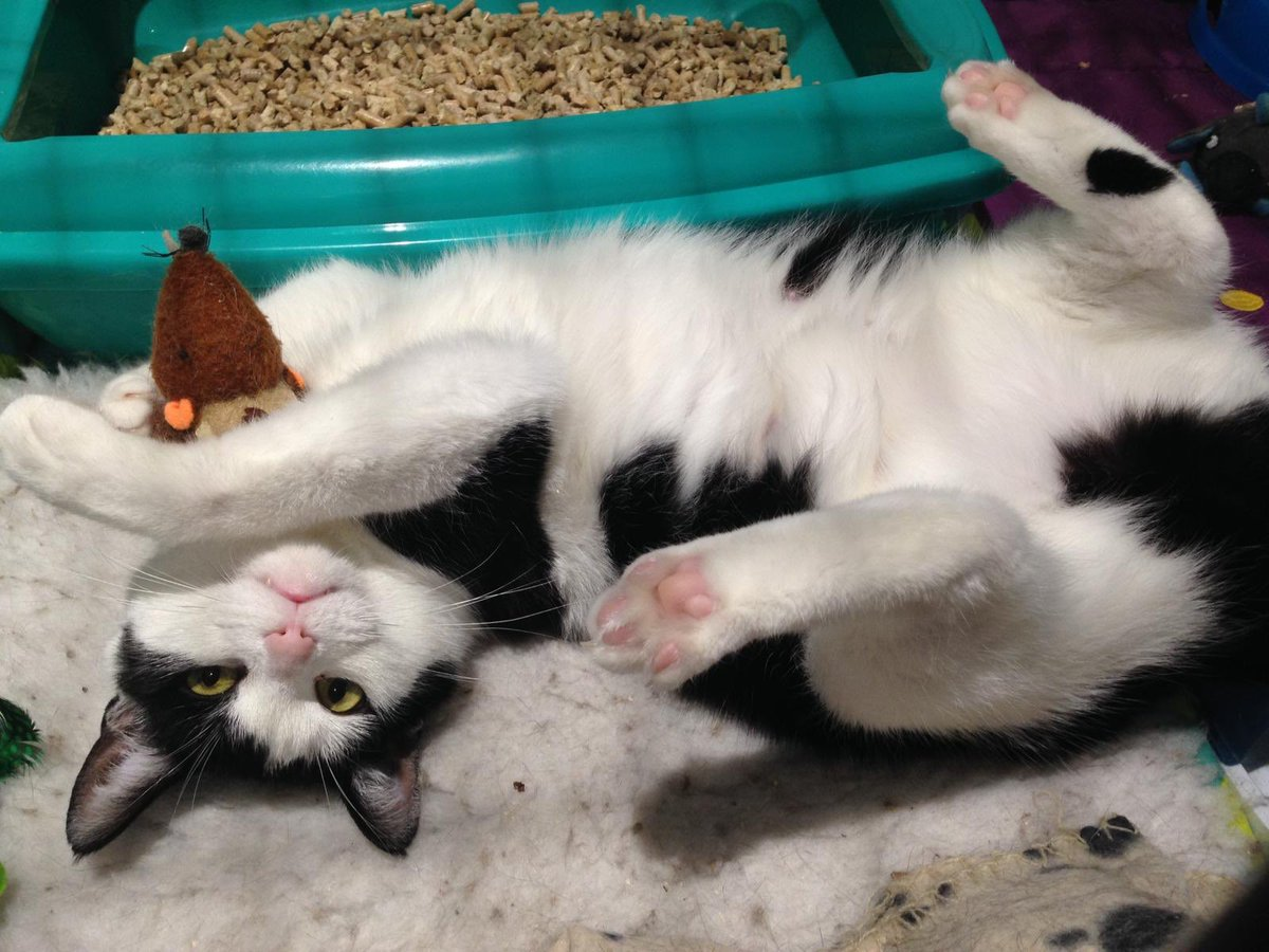This #Caturday we're still looking for a new home for gorgeous Sphinx. Who wouldn't want to adopt this lovely girl? Please #AdoptDontShop today! <br>http://pic.twitter.com/3w8DPYK7k4