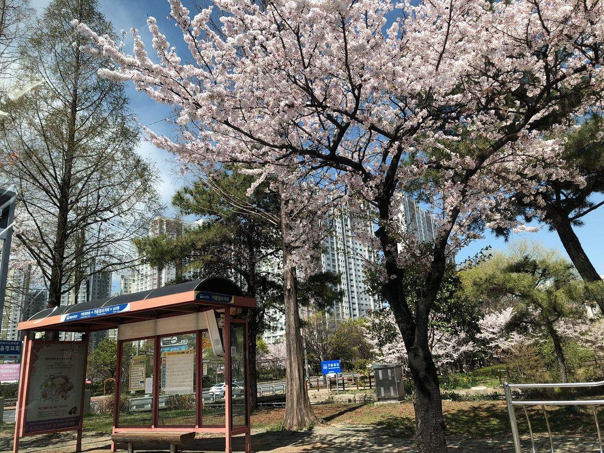 韓国 まとめ 桜