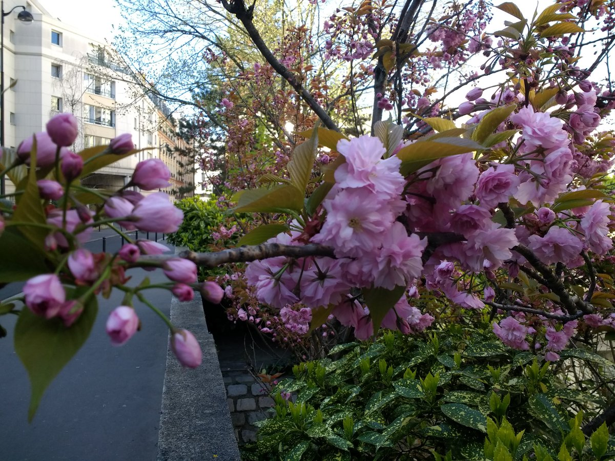 A photo of a branch of kwanzen cherry tree blossoms, several of which are budding and several of which are in full bloom.