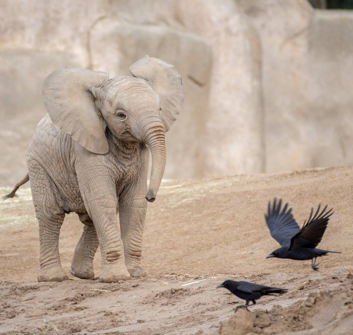 Don&#39;t come around here never more. #KaiaAllenPoe #QuothTheRaven #PachydermPair Todd Lahman <br>http://pic.twitter.com/36uRjnfHJG