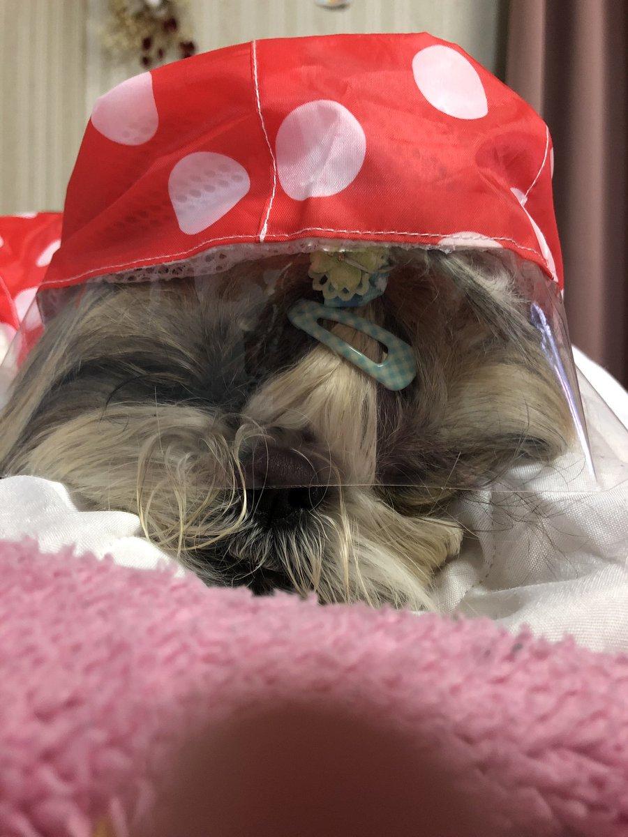 test ツイッターメディア - ダイソーで買った200円の レインコート 締め付け感ないからかな、視界遮らないからか 試着しても嫌がらず、小雨待ちしてたら寝ちゃった。 Σ(゚д゚;)  #シーズー  #ダイソー #レインコート https://t.co/FIfw5pfOWb