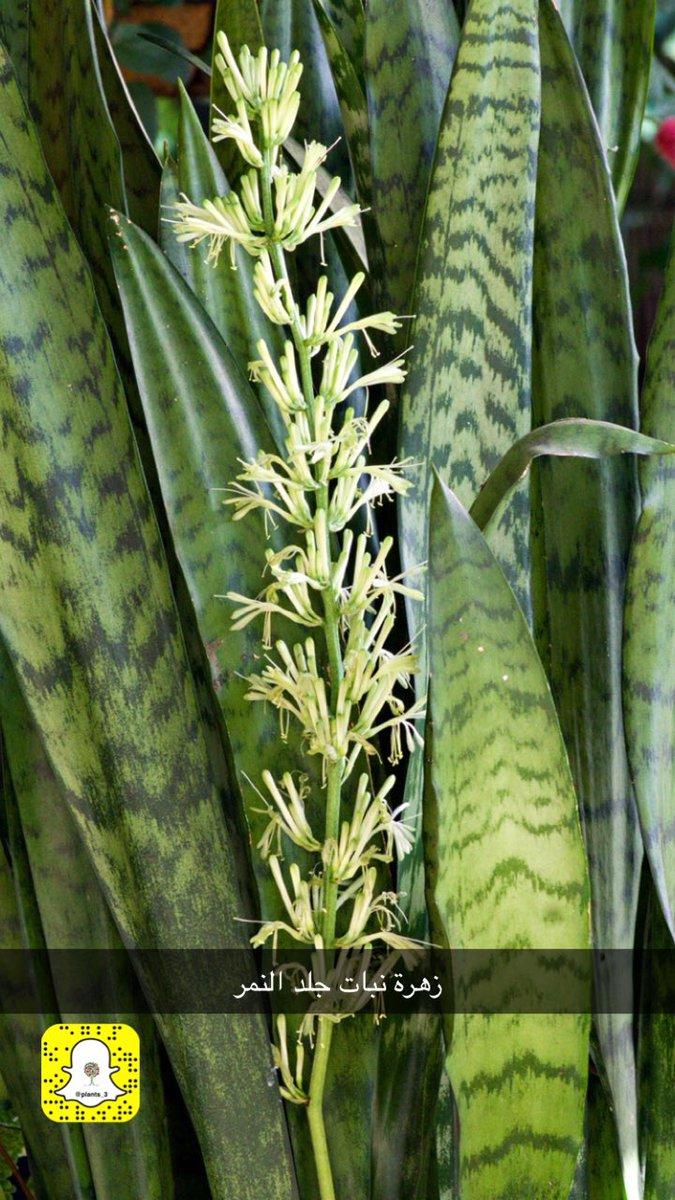 نبات جلد النمر  D29dlocWwAIEbWF