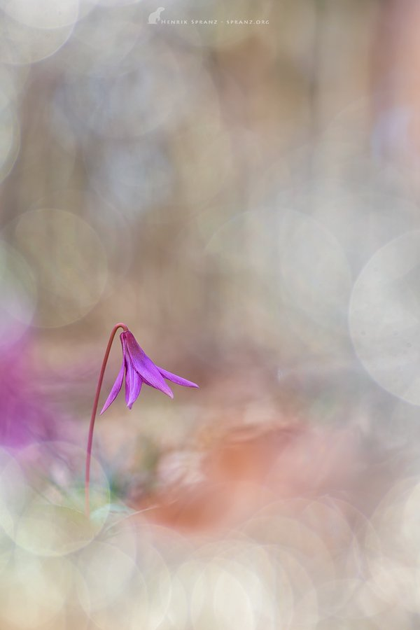 ~Dreamy Violet~ A wild dog&#39;s tooth violet in the early morning/#Austria 2019. No retouching or image manipulation Vintage Trioplan 100/2.8 on Canon 5d Mk iii @global2000 #appicoftheweek #EarthCapture @BBCEarth @BBCSpringwatch #bokeh #wildflower #tripolan @MeyerOptik @CanonUKandIE<br>http://pic.twitter.com/7JLlpbB8au