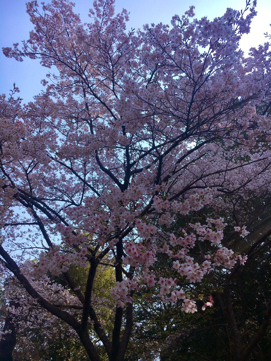 こちらはソメイヨシノではなくイズタガアカという早咲きの桜です🌸  #清水公園 #桜🌸 #さくらまつり開催中 – at 清水公園
