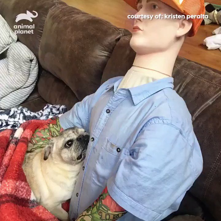 Think this pug with separation anxiety can tell the difference between his dad and the mannequin made to look like him?