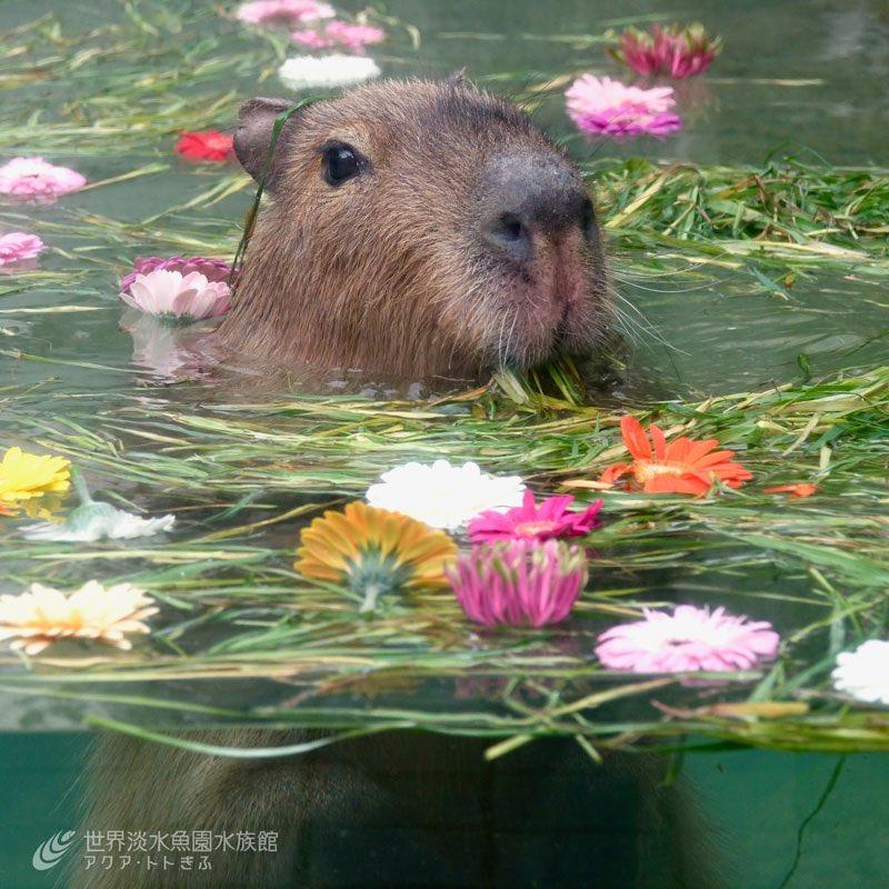RT @aquatotto: お花畑のプールで泳ぐカピバラ!? 3/21から3/31までの土日祝日限定でカピバラのイベントを開催します!イベントの詳細はホームページをご覧ください! https://t.co/AjRWkrMB5G https://t.co/Ce91cwuQn7