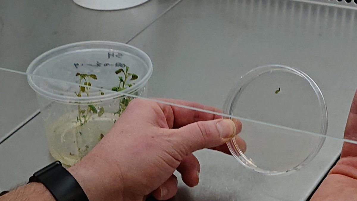 Casper Van Schaik @WUR showing in vitro cuttings for PCN infection and tricks to avoid cross contamination by leakage of the plates #PalAdapt workshop<br>http://pic.twitter.com/E8Cdia5nYb