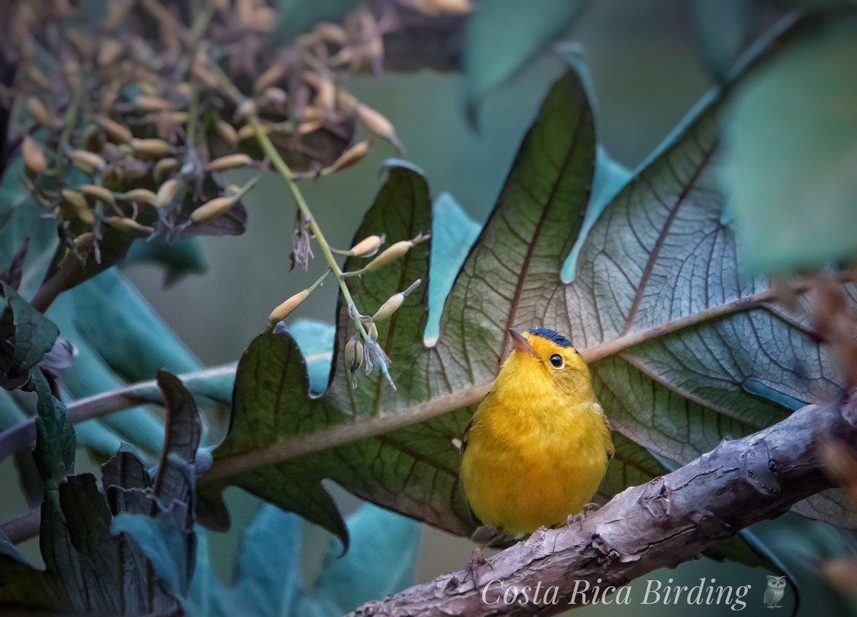 Reinita gorrinegra, Wilson&#39;s Warbler, Cardellina pusilla. #CostaRica #birding #birdwatching #PuraVida #costaricabirding<br>http://pic.twitter.com/yjUK7YAaBi