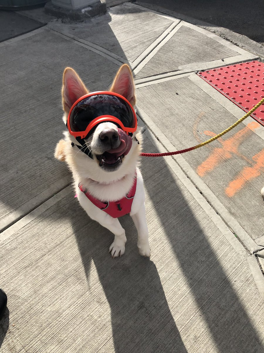 anyways look at cute photos of my dog from this weekend, he was born with a disorder called iris hypoplasia so he has to wear doggles when it's sunny out