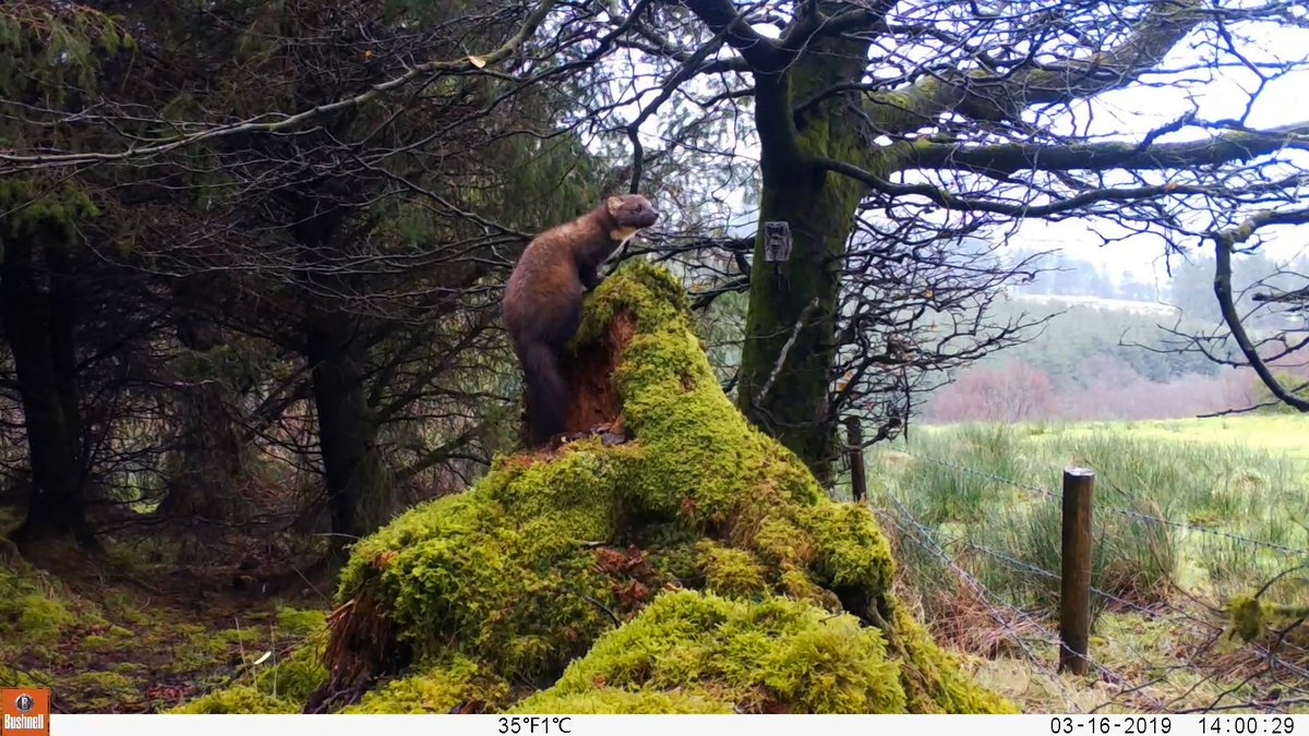 Pine Marten at a trail camera site on Keeper Hill, Co Tipperary, March 2019. https://t.co/qpDDjXgNhf