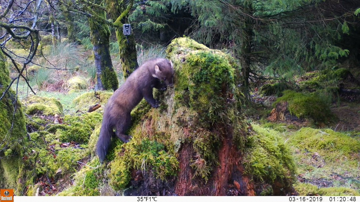 RT @EcofactEcology: Another Pine Marten trail camera shot from on Keeper Hill, Co Tipperary, March 2019. https://t.co/28Y1wH4QFG