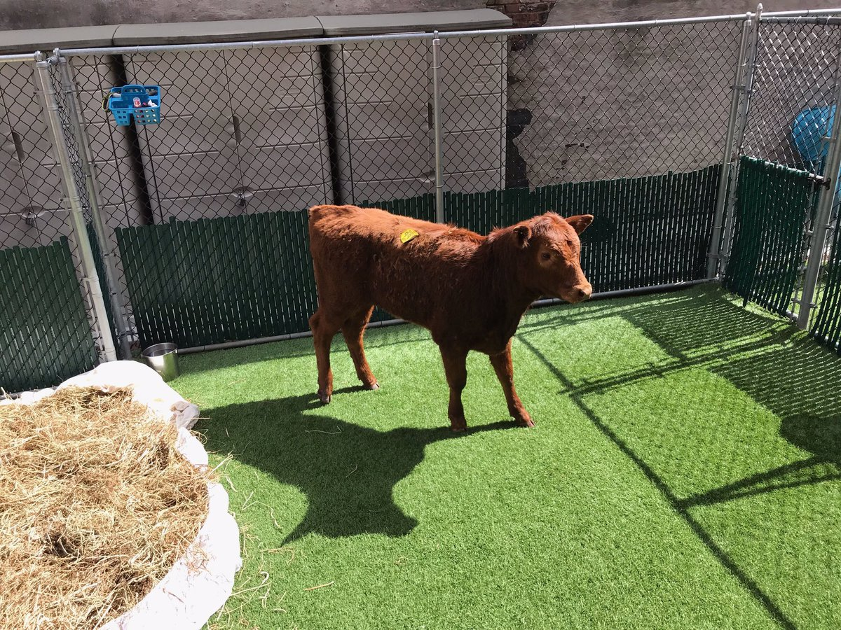 Great job by #NYPD ESU &amp; Mounted helping corral a lost calf from the Major Deegan Expressway. The cow was safely remooooved &amp; transported by Mounted to Animal Care and Control before its new permanent home at Skylands Animal Sanctuary in New Jersey.   <br>http://pic.twitter.com/IwCK0GNVvR