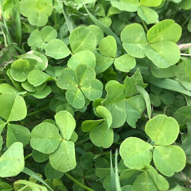 Dearly missing this view. Much of the snow has melted and the grass is turning green. Hoping we don't get another cold snap or snowstorm, but this is Wisconsin so I don't want to give my hopes up. Fingers crossed!  #fourleafclover #4leafclover<br>http://pic.twitter.com/UYZqwsyoNe