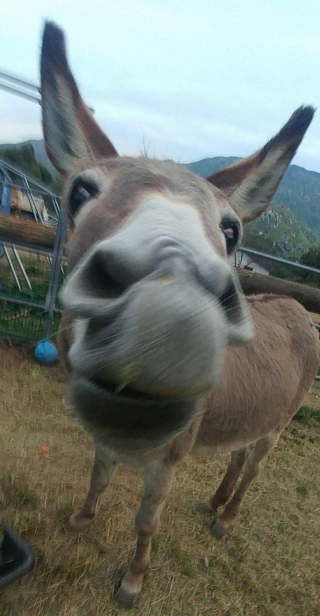 RT <a target='_blank' href='http://twitter.com/HobbesCarlota'>@HobbesCarlota</a>: Our Duchess is working on a new funny face. 😍😍😍 <a target='_blank' href='http://search.twitter.com/search?q=donkeys'><a target='_blank' href='https://twitter.com/hashtag/donkeys?src=hash'>#donkeys</a></a> <a target='_blank' href='https://t.co/uIU16sKWoC'>https://t.co/uIU16sKWoC</a>