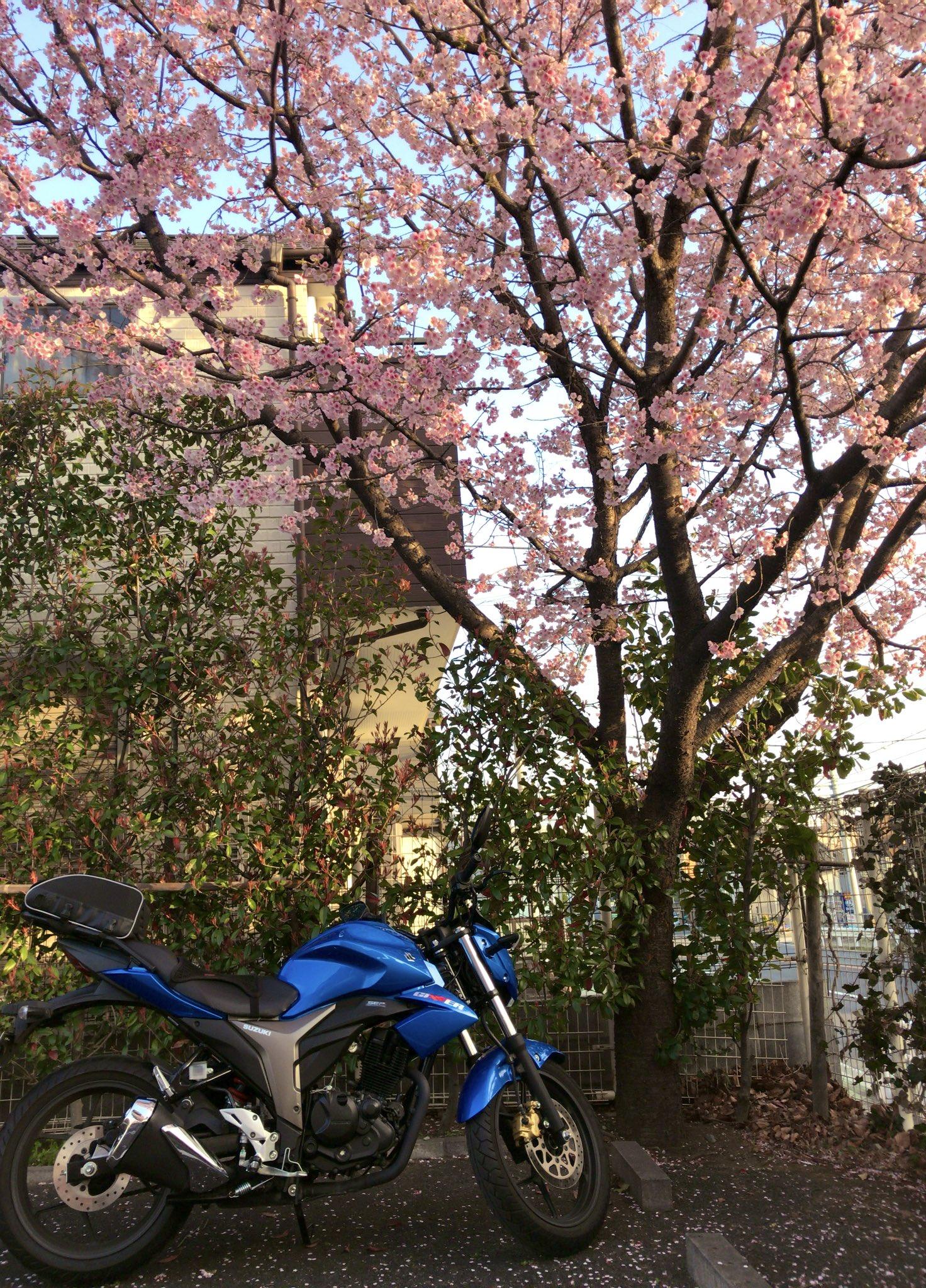 画像,埼玉 川口密蔵院の安行桜を観て来ました。開花宣言ならなかった染井吉野と違い、寒桜なので今が見頃です。ウチのジクサーは桜のシーズン後に納車されたので初ツーショット…