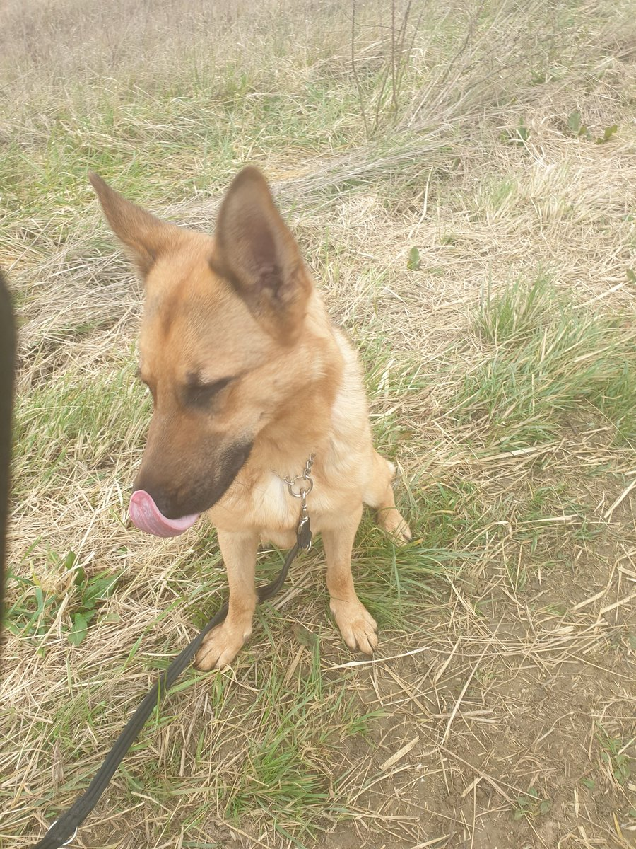 Aida says happy Wednesday everyone. In #rescue with @gsrescueelite Aida is a beautiful girl ok with other dogs but older children only. Let down by humans now needs that special person to love and train her. #GermanShepherd #Dogs #WednesdayWisdom always research the breed.<br>http://pic.twitter.com/pcruSm12VX