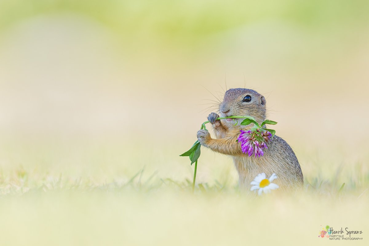 A rare wild European ground squirrel having clover for breakfast in Austria #EarthCapture by @fotomat_at<br>http://pic.twitter.com/EZLPSd3owd