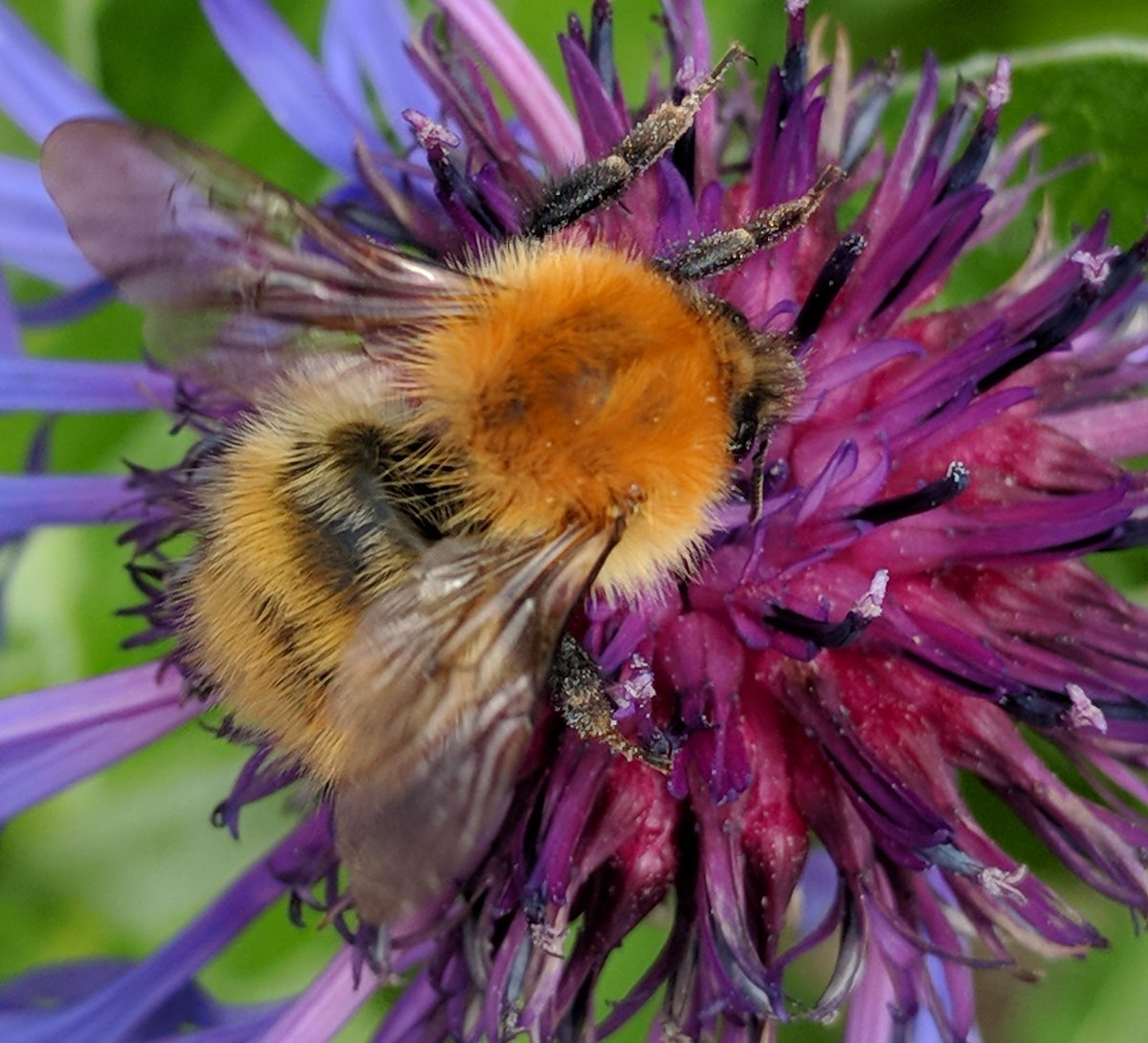 Our next #AberdeenEntClub talk will be Dr Marco Vallejo-Marin @nicrodemo on #buzzpollination 9 April 4pm @JamesHuttonInst or watch online #pollinators #bees