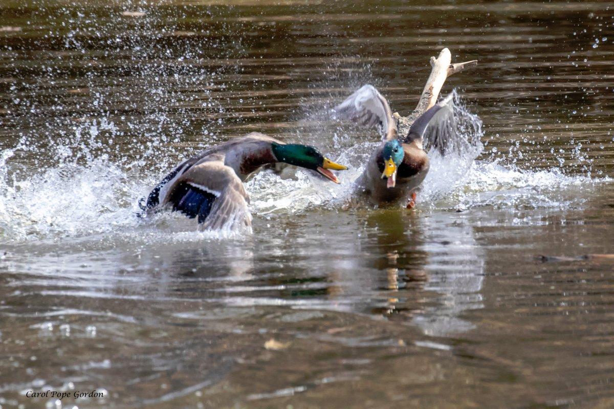 Carol Gordon's photo on #Ducks