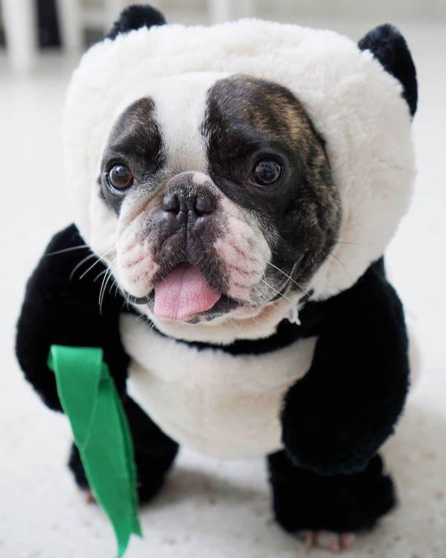 ca45caae456fc8  Pandaloon  pandadog  costume  Frenchiedog  easterbunn…  https   ift.tt 2U0jpF9 pic.twitter.com d5y2A4q7vM