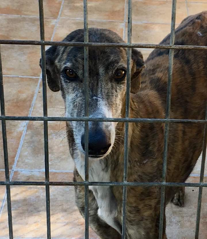 Waiting in a kill shelter  Please share, raise awareness, donate  #teamzay #houndsoftwitter #rescuedog #greyhound #greyhounds<br>http://pic.twitter.com/knTos6Y1mK