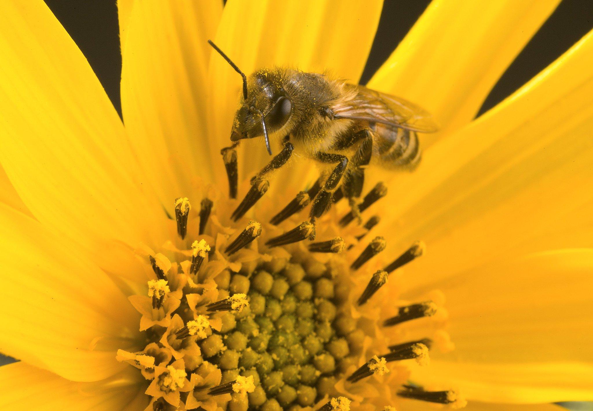 Honey Bee Colonies More Successful by Foraging on Non-Crop Fields https://t.co/6L6OSC2lj0 #HoneyBee https://t.co/SZMHtTHZF9