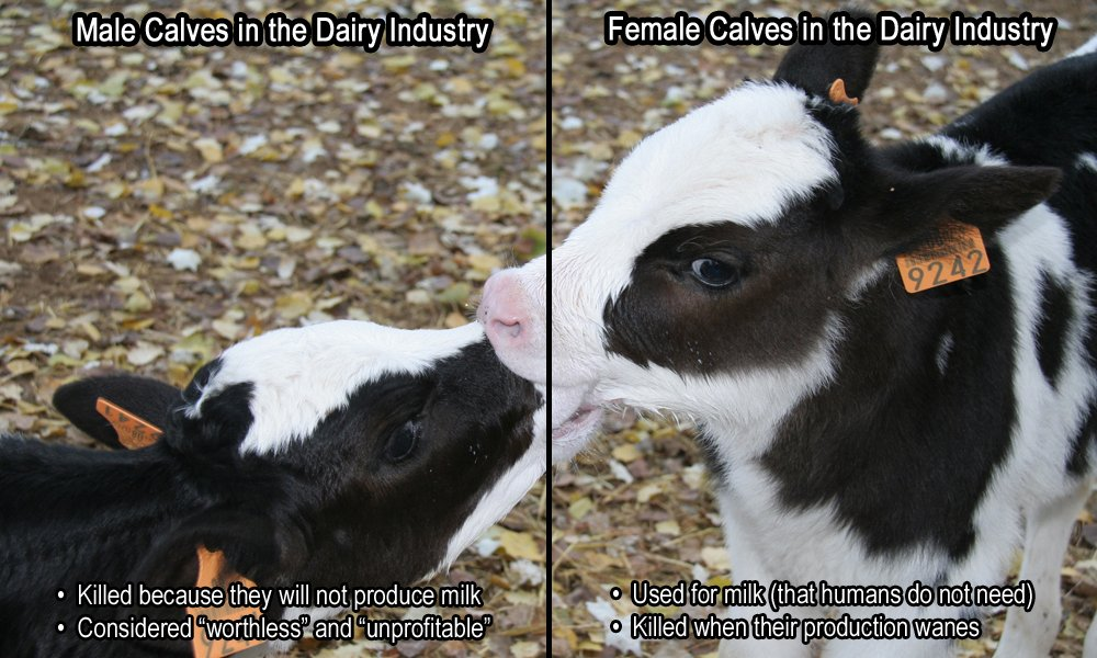 Don&#39;t support the cruel dairy industry - #DitchDairy #GoVegan.<br>http://pic.twitter.com/aQzsCcfj6A