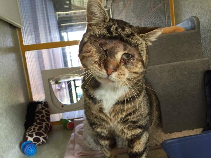 Guy has had a hard life so far, and to top it all, he&#39;s lost an eye! He is the most gentle, loving and calm cat you could meet. Could you give him the loving home and pampering he deserves? #devonhour #adoptdontshop #whiskerswednesday<br>http://pic.twitter.com/O3aqYuH5AJ