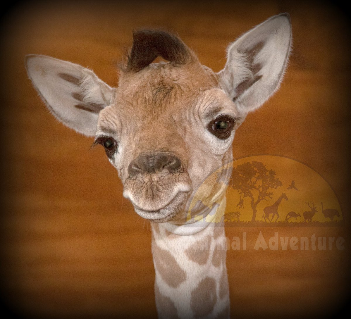 Our calf continues to progress and develop! Make no mistake, every calf born counts! With wild giraffe populations plummeting, now more than ever, successes in responsible propagation programs are continuing to provide strong genetic diversity in captive management programs. <br>http://pic.twitter.com/Z5sUPzVVa7