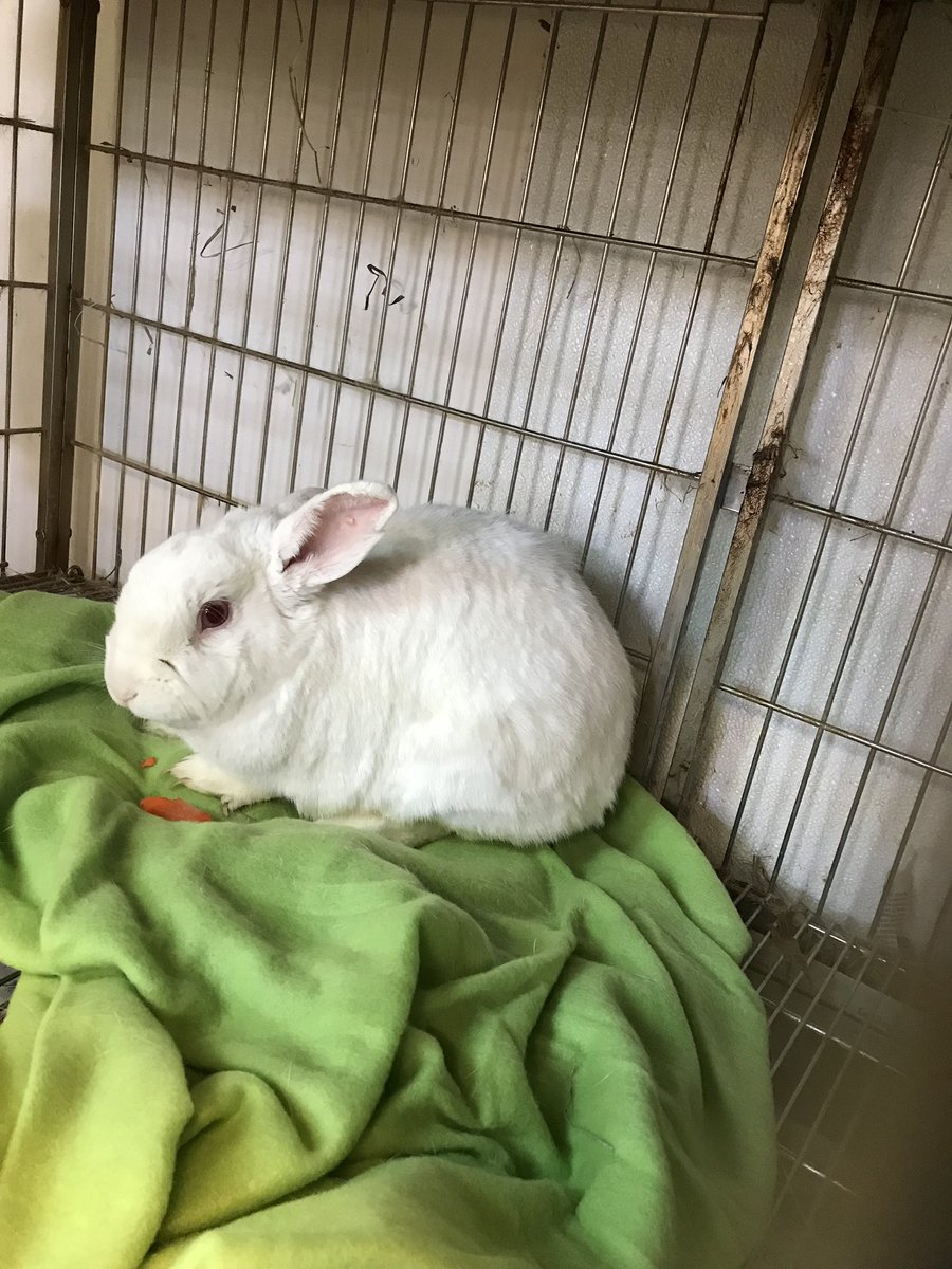 Highlighting Tonka. East Valley Animal Shelter. Van Nuys. CA. 818-756-9323. ID# A1761446 Cage #14. Flat nosed American White Rabbit. This is a red alert. He is a quiet sweetheart who just wants to cuddle and likes to be held. He can be house broken. Please share it could save him <br>http://pic.twitter.com/8CmcDhpe32