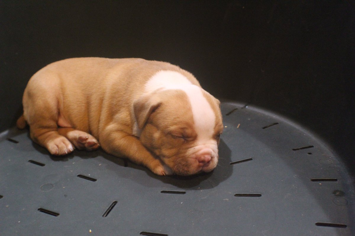 I wish I could sleep in too but I have work to do! #QueenCityBullys  #AmericanBully  #Puppy  #PuppiesOfInstagram  #PuppyLove  #DogsOfInstagram  #DogLover #MansBestFriend  #PupOfTheDay  #PicOcTheDay