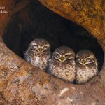 Image for the Tweet beginning: The white-speckled Spotted Owlets or
