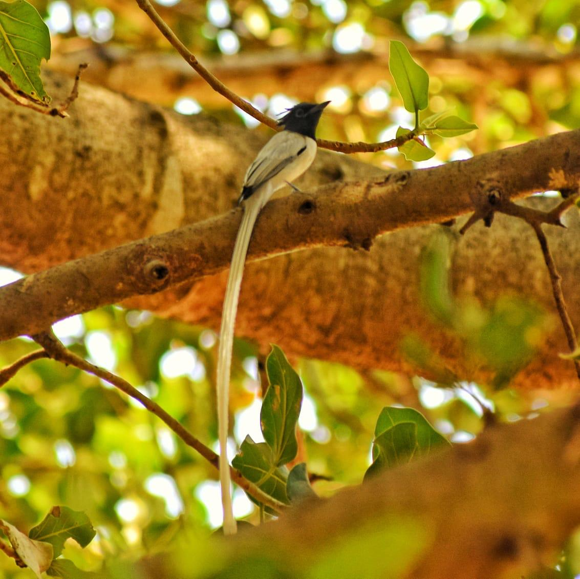 An Asian Paradise Flycatcher takes a break at @BangaloreAshram from its heavy workload. When you develop the habit of spending some time with yourself, you find that you are already in paradise.