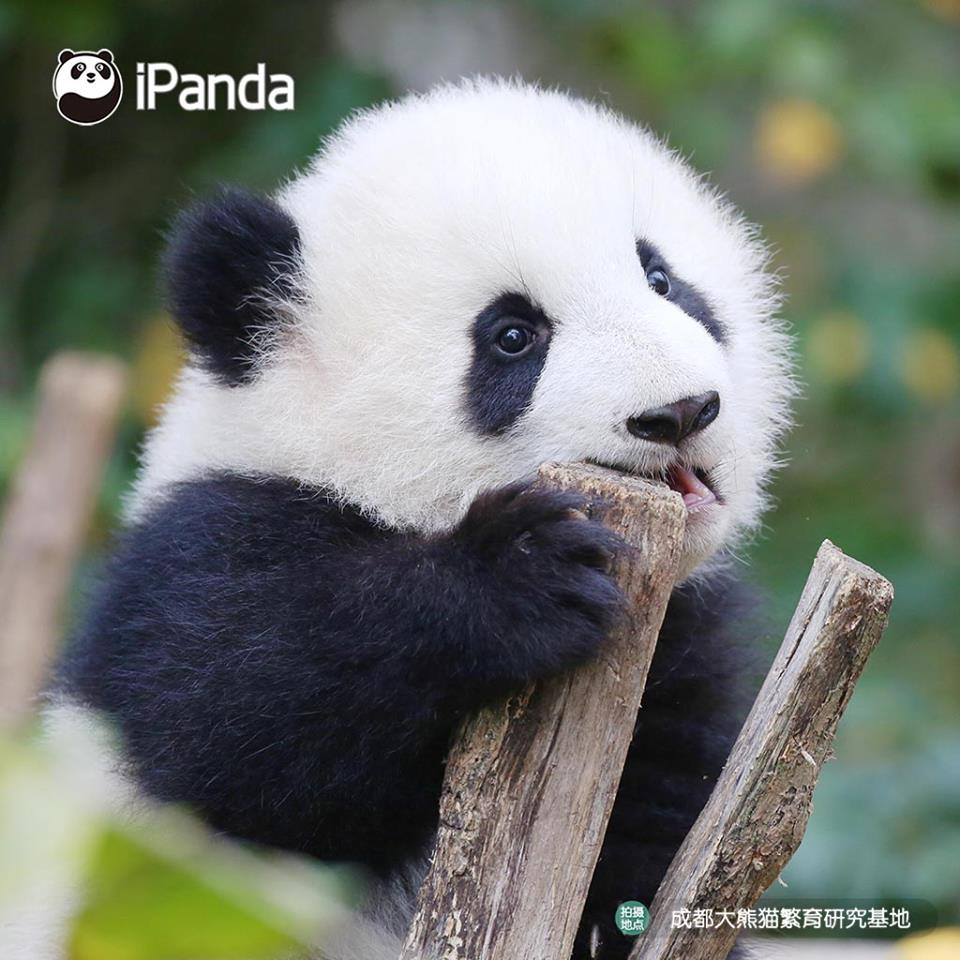 Ipanda On Twitter Watch Baby Pandas In China Playing And Eating Bamboo Follow Us Now