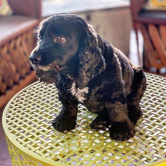 Percy makes any spot a seat.  #atxsupersitters #petsitter #bestjobever #dogsofinstagram #dogsofaustin #black #blackdog https://ift.tt/2Y9xYWh
